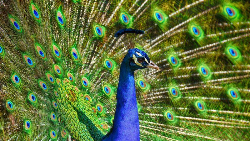 fish peacock story trupti kannada